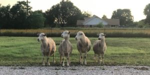 Sheep 101 - Free Workshop and Demonstration